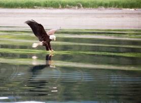 Eagle (1)