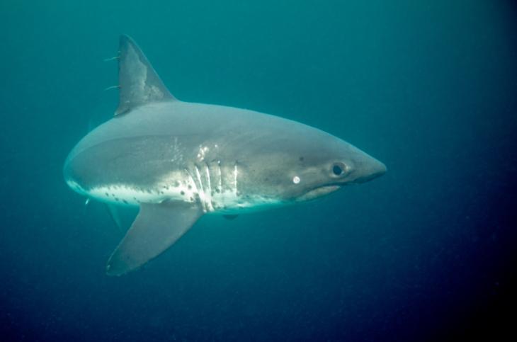 Salmon Shark (2)-Edit
