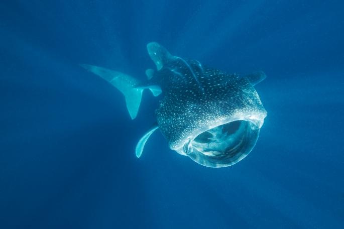 Whale Shark (2)