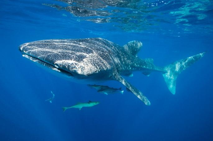 Whale Shark (5)