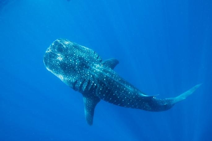 Whale Shark (6)
