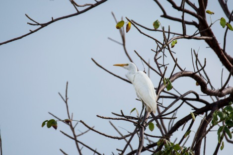 Cattle Egret (3)