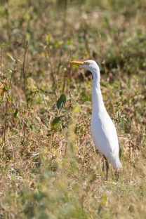 Cattle Egret (6)