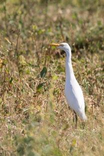 Cattle Egret (6)