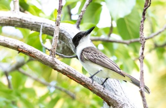 Giant Kingbird (2)
