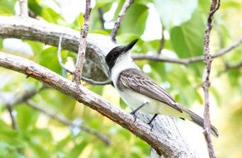 Giant Kingbird (2)