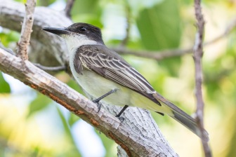 Giant Kingbird (4)
