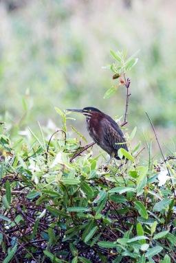 Green Heron (1)