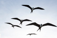 Magnificent Frigatebird (1)