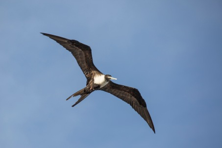 Magnificent Frigatebird (3)