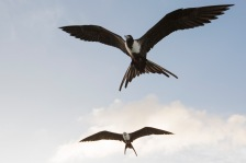 Magnificent Frigatebirds (2)