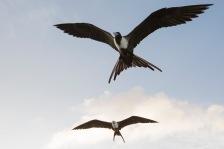 Magnificent Frigatebirds (2)