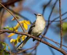 Northern Mockingbird (Nightigale)