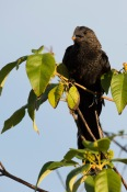 Smooth-Billed Ani (2)