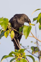 Smooth-Billed Ani (4)
