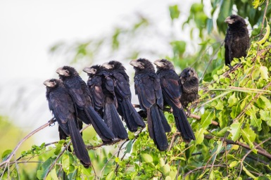 Smooth-Billed Ani (5)