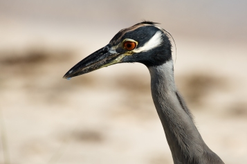 Yellow-Crowned Night-Heron (2)