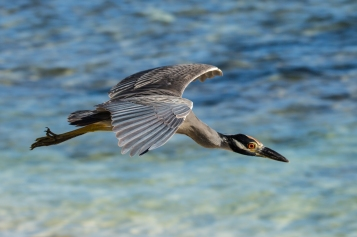 Yellow-Crowned Night-Heron (3)