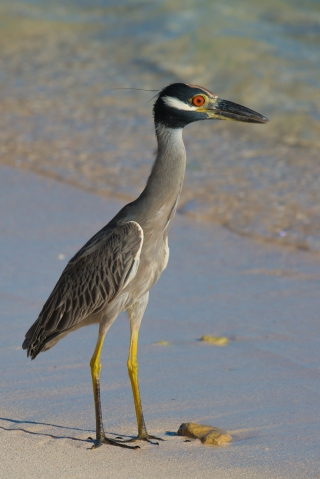 Yellow-Crowned Night-Heron (4)
