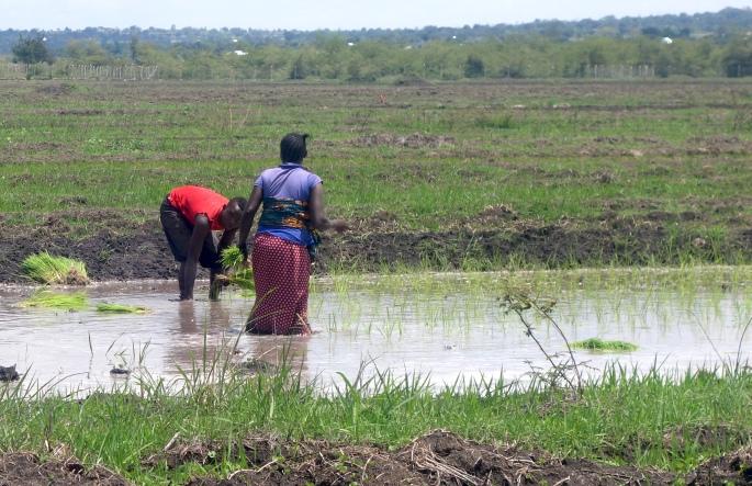 Rice Farming (1)