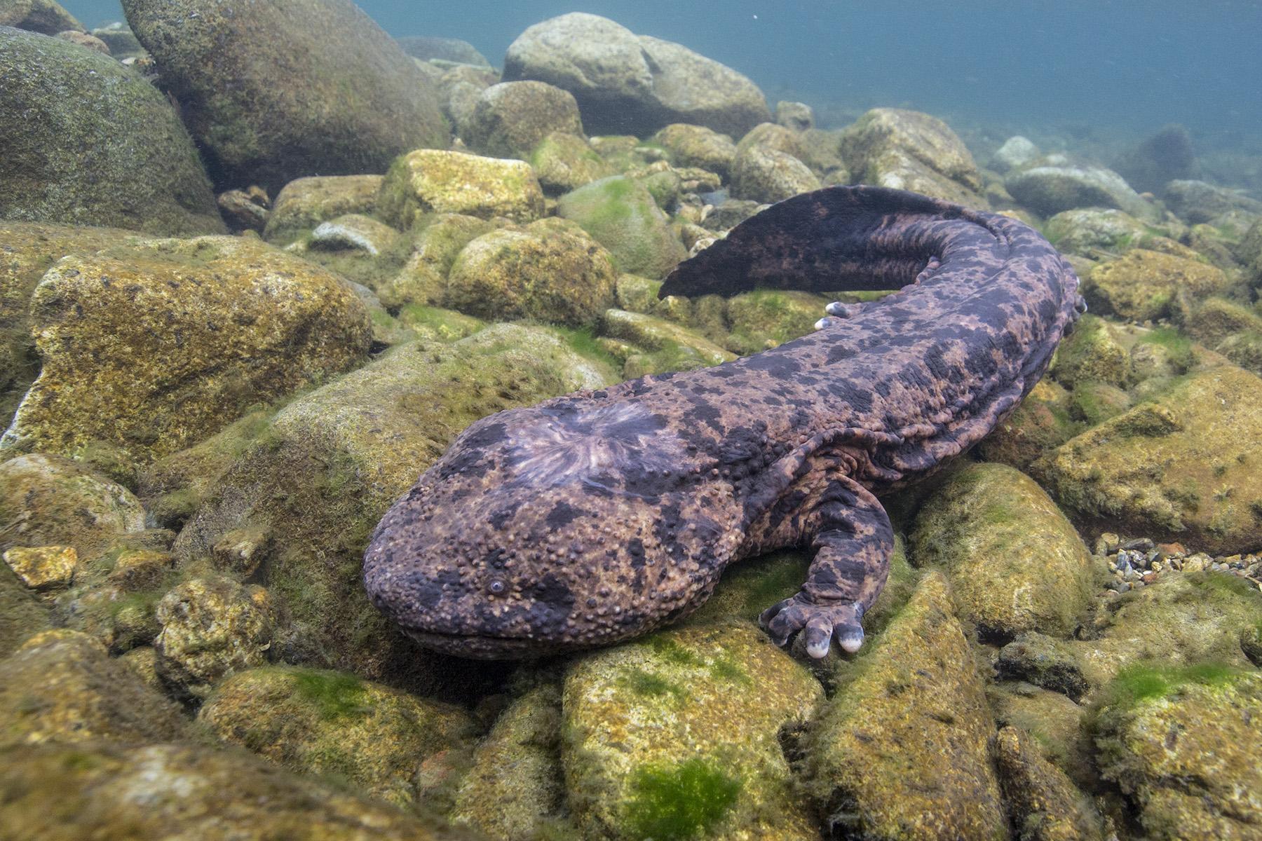 apanese Giant Salamander, Amfibi yang Terancam Punah