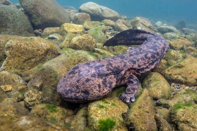 Salamander (3)