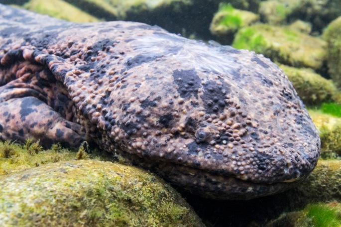 Salamander (8)