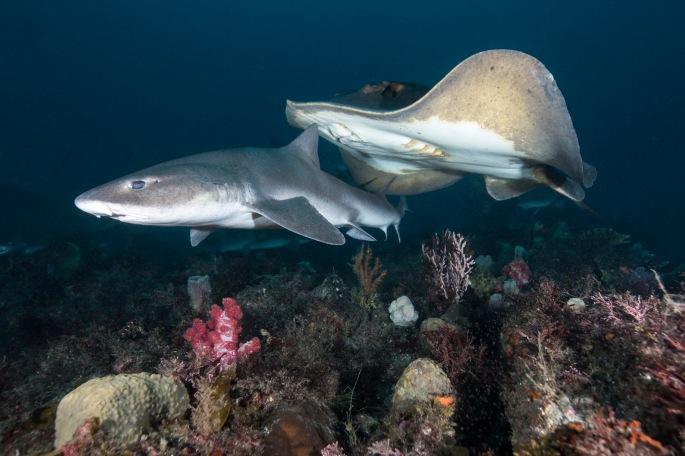 Shark & Ray