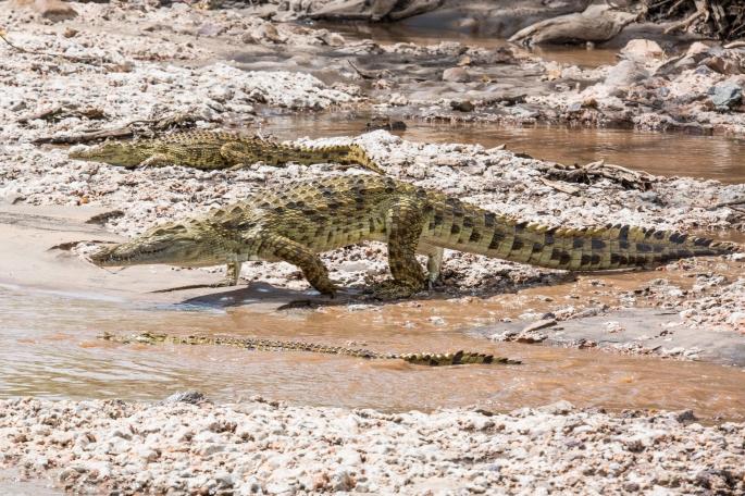 Crocodile (4)