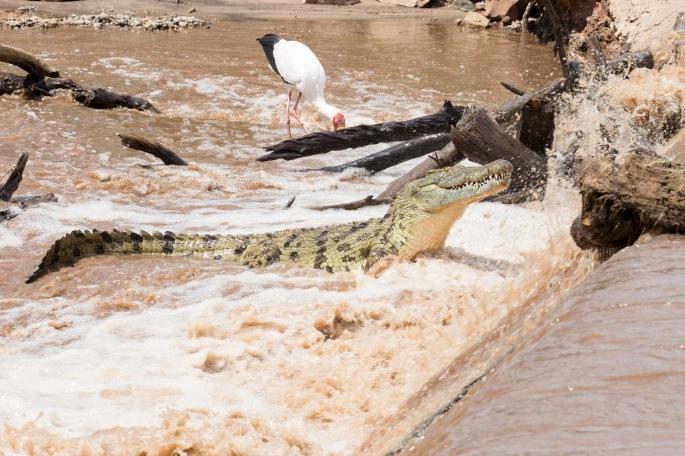 Crocodile (5)_Tricia