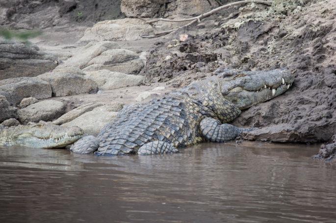 Crocodile (7)