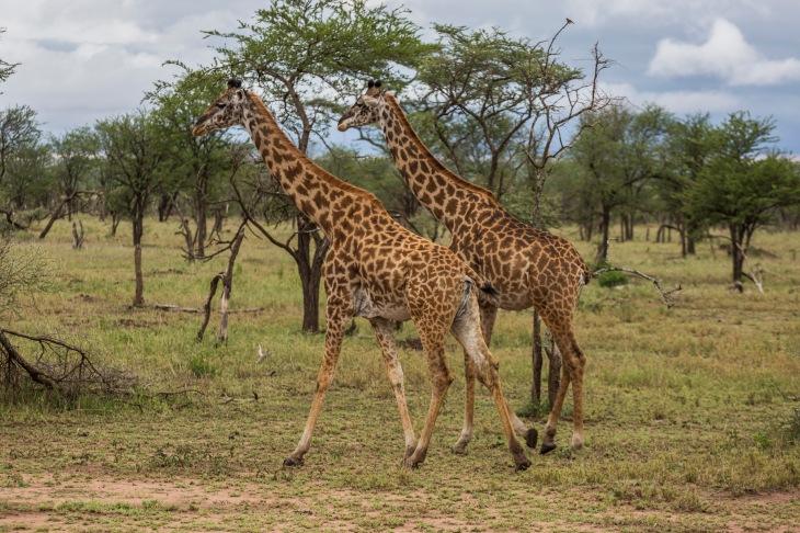 Giraffe (7)
