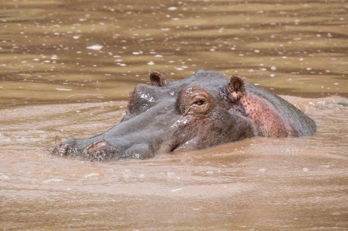 Hippo (4)