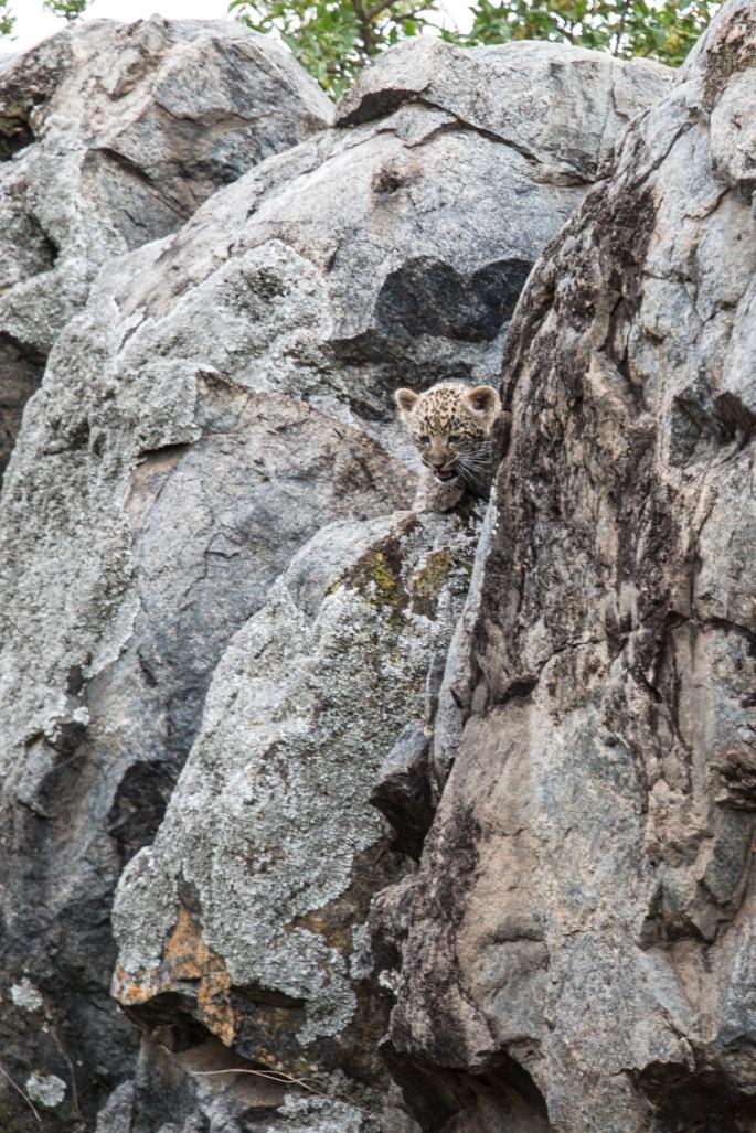 Leopard (9) vertical crop