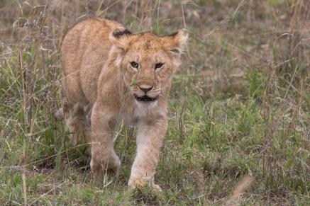 Lion11