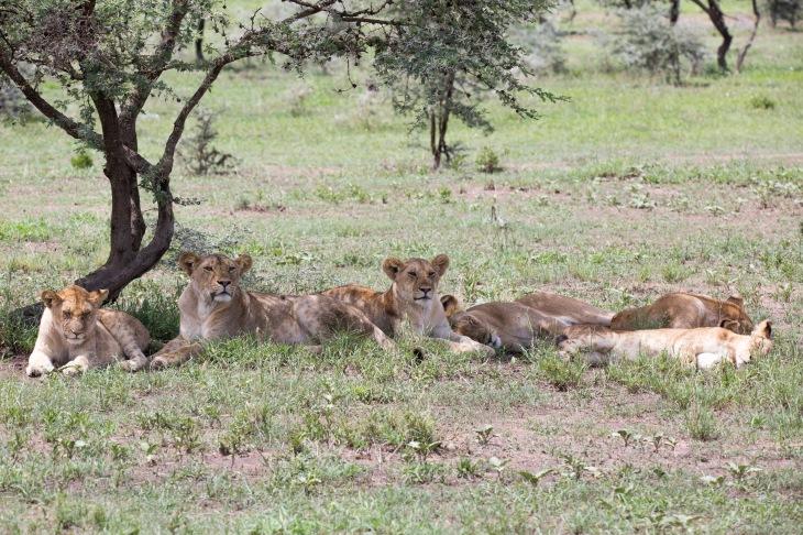 Lion14