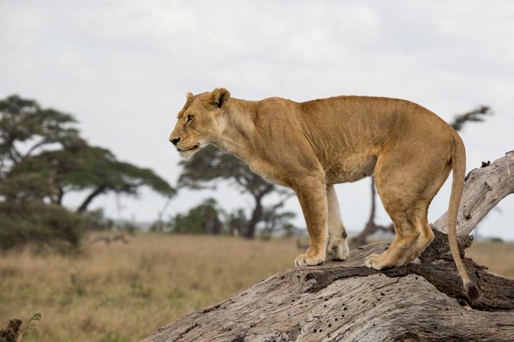 Lion7