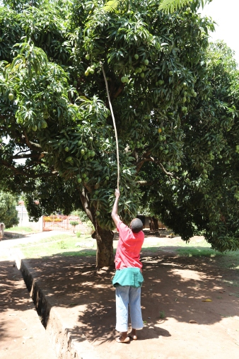 Mango Picking (1)