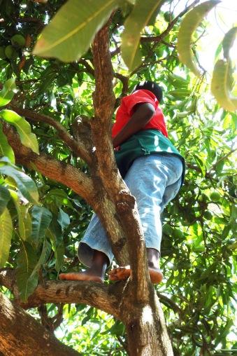 Mango Picking (2)