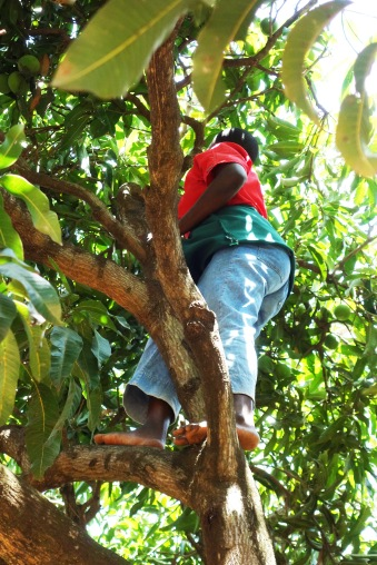 Mango Picking (2)