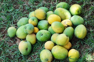 Mango Picking (3)