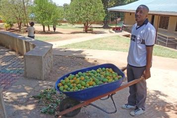 Mango Picking (5)