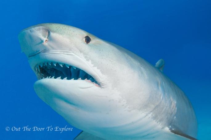Tiger Shark w_m