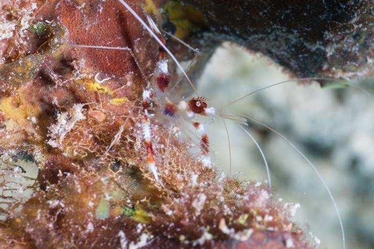 Coral Banded Shrimp (4)