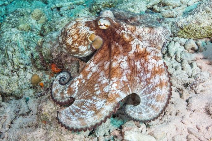 octopus6