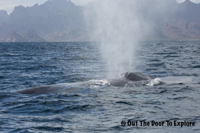 blue whale1