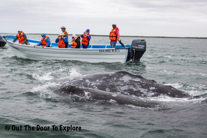 grey whale 15
