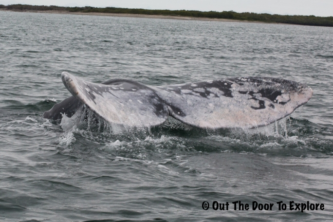 grey whale 5