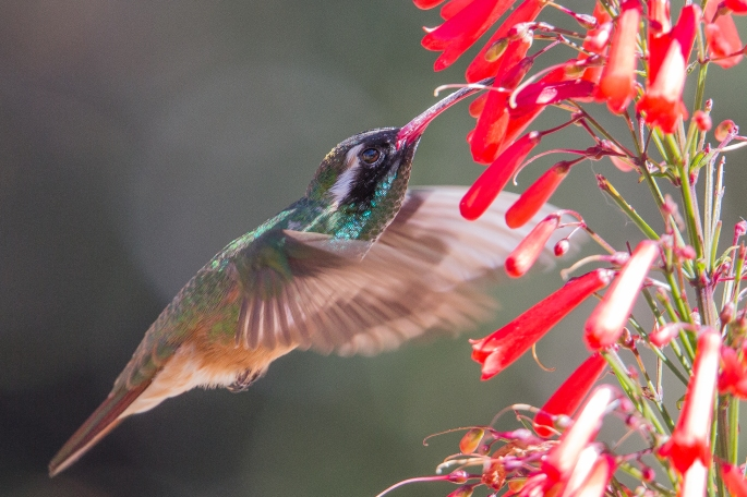 Hummingbird8