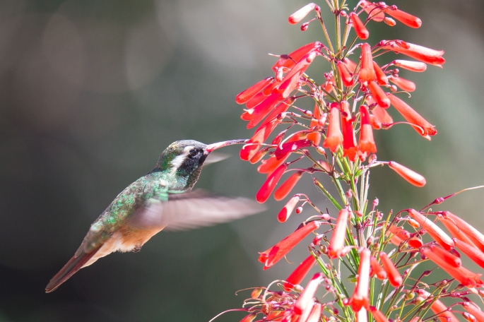 Hummingbird9